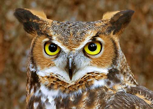 Great-horned owl face