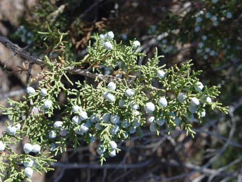 Pinyon berries