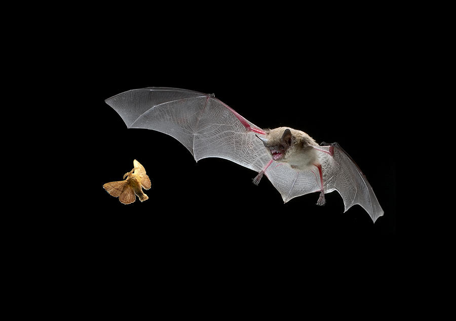 Bat after a moth