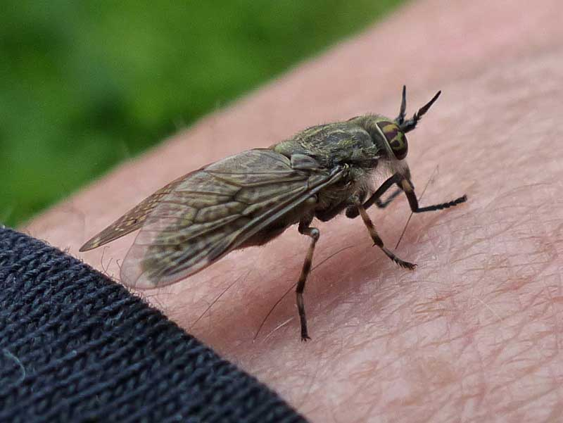 photo courtesy of picasa large fast and vicious horseflies are sources of misery and disease for livestock and sometimes people as well