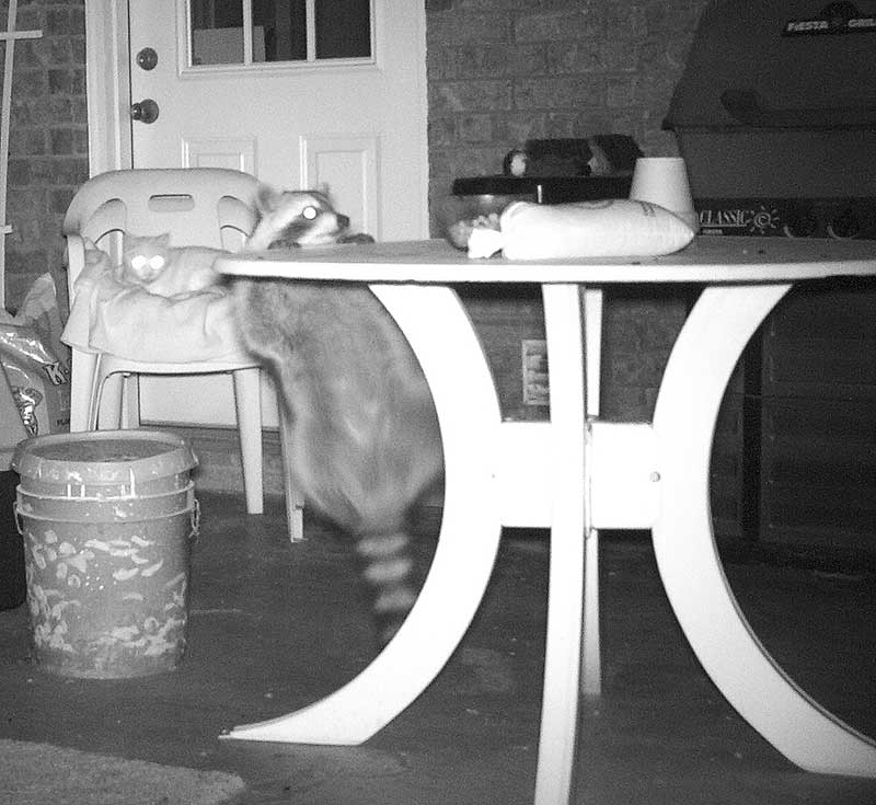 Raccoon on porch table